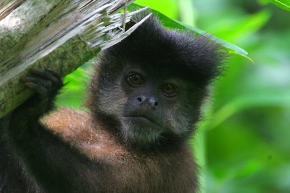 capuchin monkey IMG_4728