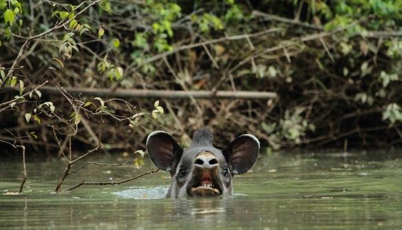 tapir swimming IMG_1908-1