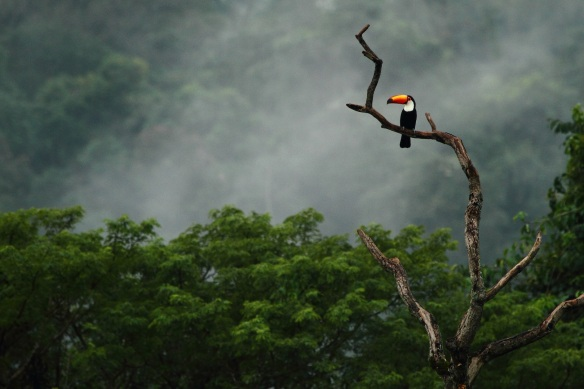 toco toucan IMG_3760