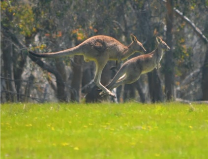 022 - Australia - Kangaroo